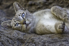 Wild grey cat with blue eyes Stock Photography