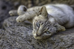 Wild grey cat with blue eyes Stock Images