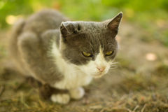 Wild grey cat. Wild young grey cat with green eyes Stock Image