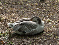 Wild grey goose cleans itself. On the ground Royalty Free Stock Photo