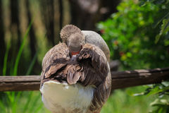 Wild Grey goose cleans itself on the san. Israel. Outdoor park. Nature reserve Stock Photography
