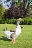 Wild grey  goose on a meadow Royalty Free Stock Images