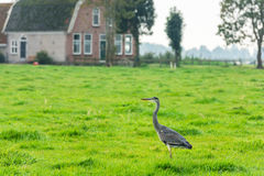 Wild grey heron on a bright green grass Royalty Free Stock Photos