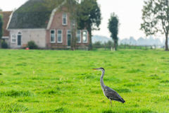 Wild grey heron on a bright green grass Royalty Free Stock Images