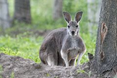 Wild grey kangaroo resting. royalty free stock photo