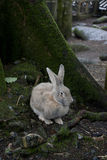 Wild grey long-eared rabbit in woods in autumn Royalty Free Stock Images