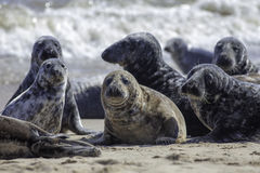Wild Grey seal colony on the beach at Horsey UK. Beautiful aquatic animal group with various shapes and sizes of gray seal. Selective focus on foreground seals stock photography