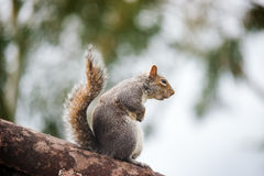 Wild grey squirrel standing on top a tree trunk Stock Photos