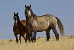 Wild grey stallion and mare. A wild mustang stallion and mare near Cody Wyoming stock image