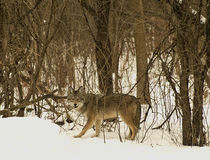 Wild grey wolf. Coming out of woods in winter Stock Photo