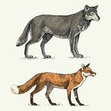 Wild grey wolf and red fox engraved hand drawn in old sketch style, vintage animals.  Stock Photos