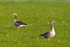 Wild greylag geese in field Stock Images
