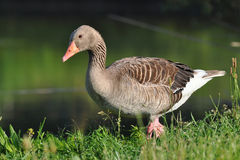 Wild greylag goose Royalty Free Stock Photo