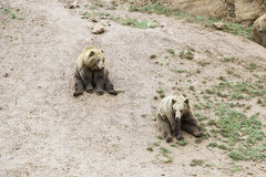 Wild grizzlies Stock Photography