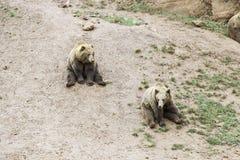 Wild grizzlies Stock Photography