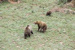 Wild grizzlies Stock Image