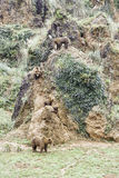 Wild grizzlies Royalty Free Stock Photo