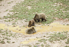 Wild grizzlies Royalty Free Stock Photography