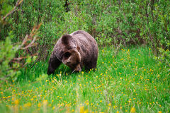 Wild Grizzly Bear. S, mother and cub, Kananaskis Country Alberta Canada Stock Image