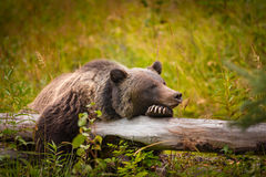 Wild Grizzly Bear. Wild Eastern Slopes Grizzly bear taking a rest in a mountain forest in summer Banff National Park Alberta Canada stock photography