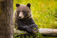 Wild Grizzly Bear Royalty Free Stock Photography