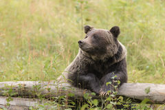 Wild Grizzly Bear Royalty Free Stock Images