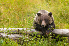 Wild Grizzly Bear Stock Photo