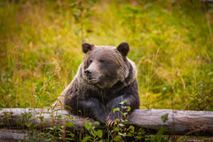 Wild Grizzly Bear. Wild Eastern Slopes Grizzly bear taking a rest in a mountain forest in summer Banff National Park Alberta Canada Royalty Free Stock Photo