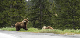 Wild Grizzly Bear. Eating grass in spring along the Icefield Parkway in Alberta, Canada Stock Photo