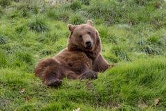 Wild Grizzly Bear Stock Photos