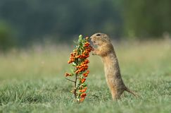 Wild ground squirrel Royalty Free Stock Photo