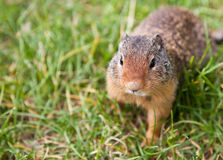 Wild Ground Squirrel Stock Photos