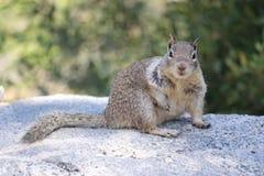 Wild Ground Squirrel. Somewhere in USA Royalty Free Stock Photo