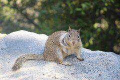 Wild Ground Squirrel. Somewhere in USA Royalty Free Stock Photos