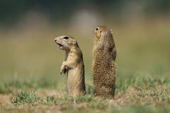 Wild ground squirrels Stock Image