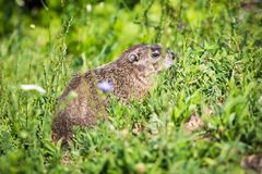 Wild groundhog feeding grass on summer day. Alone royalty free stock images