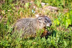 Wild groundhog feeding grass on summer day stock photo