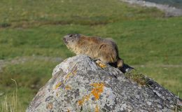 Wild Groundhog. A groundhog on a rock in the mountains royalty free stock images