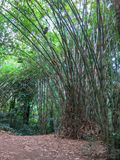 Wild growing bamboo in tropical jungle. Long trunks rise up. Bee hives made of bamboo names hanging at tree height. royalty free stock image