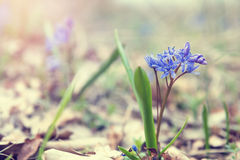Wild growing blue snowdrop Stock Photography