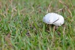 Wild-growing champgnon (Lat. Agaricus bisporus) Stock Photo