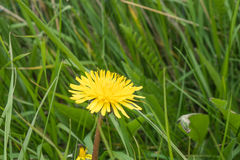 Wild growing dandelion flower Royalty Free Stock Images