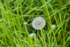 Wild growing dandelion seed head in a grassy location Stock Image