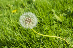 Wild growing dandelion seed head in a grassy location Royalty Free Stock Photo