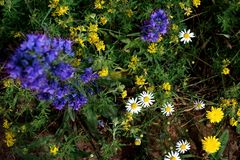 Overhead view of wild growing flowers in blue, white and yellow colors stock images