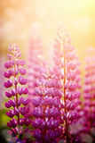 Wild-growing flowers of a lupine Stock Image