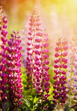 Wild-growing flowers of a lupine Stock Images