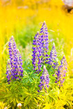 Wild-growing flowers of a lupine in the field in the sunset sun Royalty Free Stock Image