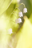 Wild-growing forest flower - a lily of the valley. Stock Photo