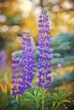 Wild-growing lupine flowers Stock Image